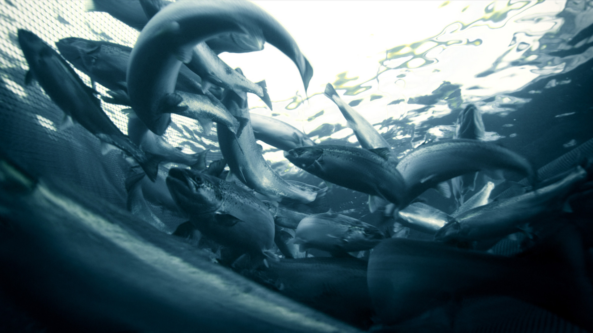 Marine_Harvest_21